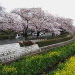 昨年(2016年)の文化センター脇の桜の様子